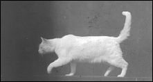 CHAT - un film de Etienne-Jules MAREY - image